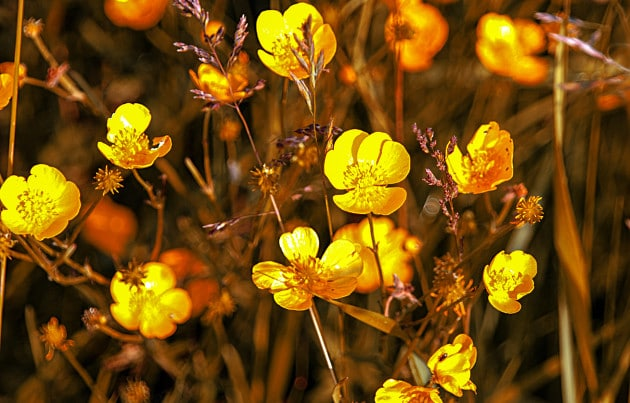 This is a picture of Meadow buttercup (Ranunculus acris) glowing in the early morning sunrise in Combe Valley near Bexhill by David Dennis