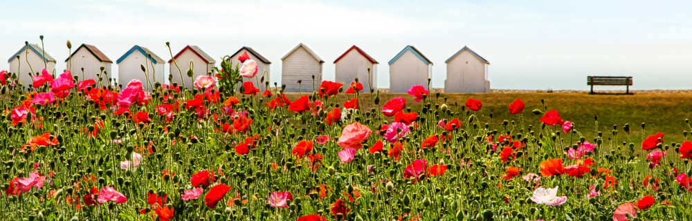 Mass of red and pink poppies in profusion at Goring, West Sussex. Classic English beach huts in the distance, a park bench and green common land. The sky is pale blue with thin wispy clouds.
